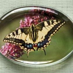 Butterfly Photographic Glass Paperweight - Rare English Swallow Tail - Natural History